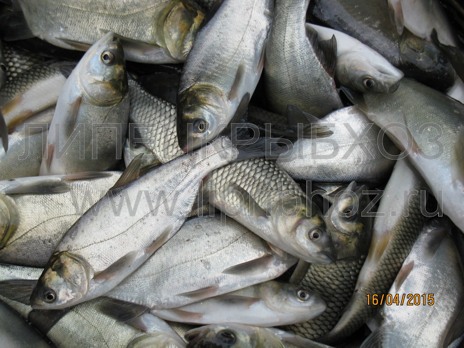 рыба толстолобик костлявая или нет